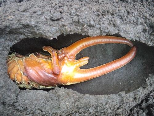 ネプチューン 蛹.JPG