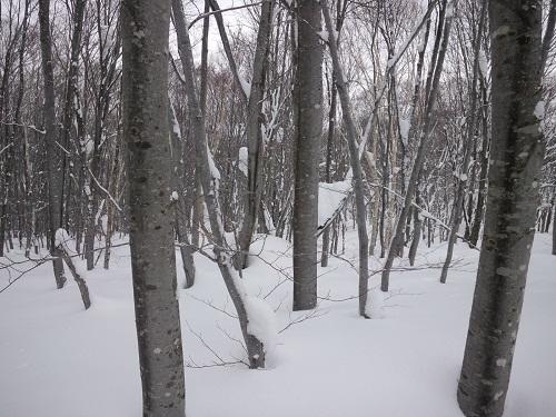 冬のブナ林.JPG