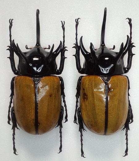 Eupatorus gracilicornis gracilicornis.JPG