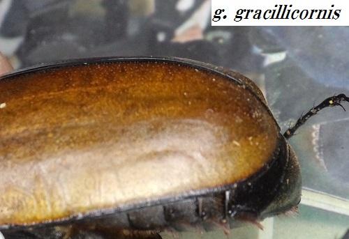 g. gracillicornis elytra2.JPG