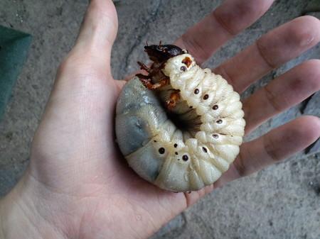 アクタエオンゾウ 幼虫.JPG
