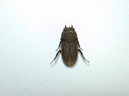 スクアリドゥスサビ ♀.JPG